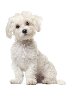 Maltese puppy, 6 months old, sitting in front of white backgroun