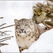 carol snow leopard