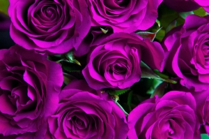 Purple natural roses background